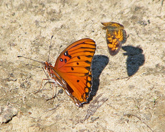 Gulf fritillary & Pearl crescent - puddling (Vicki's Nature) Tags: shadow two orange canon butterfly georgia inflight big different small butterflies ground spots s5 biello gulffritillary puddling 0489 pearlcrescents vickisnature