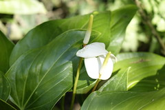 GREEN-WORLD (ddsnet) Tags: plant flower sony hsinchu taiwan cybershot anthurium       peipu greenworld rx10