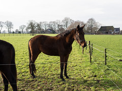 (Jeroen Hillenga) Tags: horses horse netherlands rural countryside pferde pferd weiland drenthe paard paarden platteland