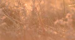 DSC_1063.jpg (Snoeijer) Tags: vakantie nederland natuur texel landschap noordholland slufter noorwegen zonsopkomst grassen decocksdorp