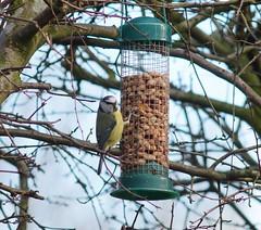Big Garden Birdwatch 2014 (Rovers number 9) Tags: england tit minolta sony lancashire bluetit a77 biggardenbirdwatch minoltaaf135mmf28 sonya77 vision:outdoor=0962