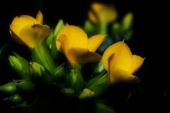Kalanchoe (Paul Sibley) Tags: flower photoaday nikond60 32365 3652014