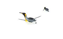 king penguins on snow (espenliedahl) Tags: ocean nature birds penguin southgeorgia albatross