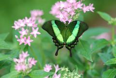 Butterfly (G Bradley2013) Tags: flowers plant butterfly flying nikon flight elements coloured d80