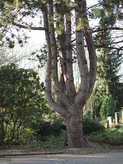 Multistamm-Baum (KL57Foto) Tags: pen germany deutschland am natur olympus nrw rhein bäume baum rheinland rhineland monheim ep1 monheimamrhein stadtmonheim kl57foto stadtmonheimamrhein