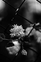 behind bars (beata goc) Tags: bw black planta fleur botanical blackwhite sw garten schwarzweis ranunkelstrauch