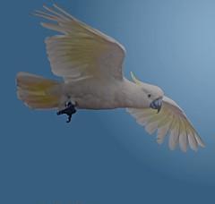 Sulphur Crested Cockatoo (Uhlenhorst . Sorry, I need a long break!) Tags: travel birds animals tiere reisen australia australien vgel 2013