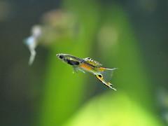 Endler Type 2014 (Poecilia wingei) (Javier Garcia Alarcon) Tags: endler poecilia wingei poeciliawingei ovovivparos