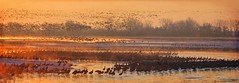 Sandhill Crane Migration, Platte River Sunrise (Passion4Nature) Tags: cold texture sunrise nebraska cranes migration sandhillcranes auduboncenter spectacle platteriver magicuniverse magicunicornverybest