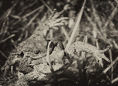 Amori stagnanti (vincenzo martorana) Tags: pool bn frogs amore rane stagno