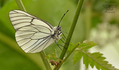 Black Veined White (Aporia crataegi) (Pete Withers) Tags: white black butterfly butterflies lepidoptera blackveinedwhite veined aporiacrataegi aporia crataegi