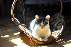 basket (greenelent) Tags: nyc light sun sunlight brooklyn cat basket kitty photoaday 365 catphotography
