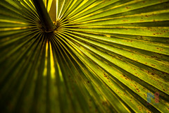 Backlight Leaf (Masters Imaging Photography) Tags: green leaves yellow palms shadows cuba caribbean