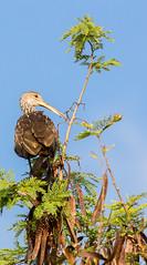 _AAC4821.jpg (Lake Worth) Tags: bird nature birds animal animals canon wings florida wildlife feathers wetlands everglades waterbirds southflorida 2xextender sigma120300f28dgoshsmsports
