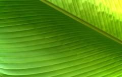 Banana leaf (scinta1) Tags: bali tabanan plants green leaf macro texture glowing shades