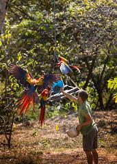 CR_susttourism2-5391 (FarFlungTravels) Tags: marriott costarica places breeding scarletmacaw guanacaste puntaislita hotelpuntaislita thearaproject