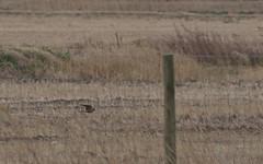 Faucon émerillon ♀ (Falco columbarius) IMG_6403 (6franc6) Tags: languedoc gard 30 petitecamargue février 2015 6franc6 canon ef100400f4556lisiiusm eos70d rapace