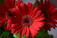 Gerbera Daisy  Number 329 (N. S. Gittings) Tags: flowers daisies daisy tamron18270mm nikond7000