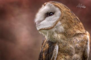Barn Owl Profile - 2016