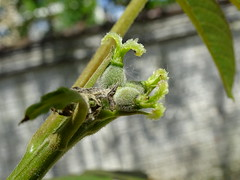 Juglans regia (L. P. T) Tags: femaleflowers juglans juglandaceae juglansregia