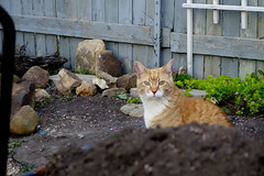 Ziggy Cat - Suspicious Dirt Pile 4-24-16 01 (anothertom) Tags: cats yard garden looking dirt curious wheelbarrow inspect pileofdirt ziggycat sonyrx100ii
