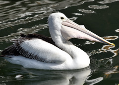 Pelican with a billful! (Merrillie) Tags: sea nature water animals fauna bay nikon scenery waterfront wildlife australia pelican views nsw brisbanewater woywoy d5500 nswcentralcoast centralcoastnsw