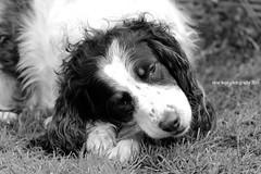 Brandy (SteveH1972) Tags: uk blackandwhite bw dog pet pets monochrome garden outdoors europe britain outdoor spaniel barton springerspaniel pooch englishspringerspaniel 2016 canonef70200mmf28lusm northlincolnshire bartonuponhumber canon600d