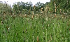 10-IMG_1867 (hemingwayfoto) Tags: blhen gras grasblte heuschnupfen natur norddeutschland ostufer pflanze regionhannover steinhudermeer wiese