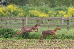 Deer (deltic17) Tags: countryside wildlife free lincolnshire deer bambi roe roedeer coningsby