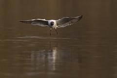 Black-headed Gull (mansod) Tags: wild bird nature water nikon contemporary gull flight sigma vatten bif skrattms blackheaded rstasjn d7200
