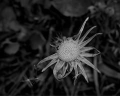 Natural abseil (dawn_macroart) Tags: nature dandelion seeds organic edale macromonochrome