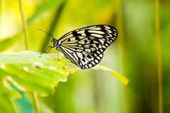 Rice paper butterfly (Hendraxu) Tags: white macro nature animal fauna butterfly paper rice bokeh conservation ricepaper
