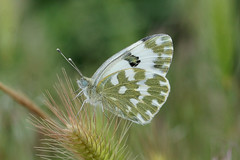 Eastern Bath White ---- Pontia edusa (creaturesnapper) Tags: europe butterflies lepidoptera greece pieridae easternbathwhite pontiaedusa