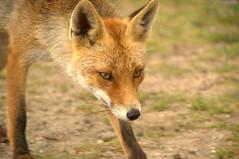 Hunting Fox / Jagende Vos (S-W Photography) Tags: awd vos amsterdamsewaterleidingduinen bej