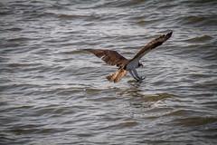 Gottcha!!! (skram1v) Tags: two breakfast fishing dive osprey fishhawk unsuccessful 200516 maylong lakewinnipeg sharpeyes dodgeharrassers