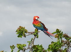 Guacamaya / Macaw (jjrestrepoa (busy)) Tags: bird colombia meta ave macaw guacamaya aramacao lamacarena guacamayabandera