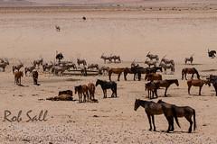Wild Horses of Namibia (robsall) Tags: africa vacation mammal 7d namibia canoneos 70200 wildhorses karas wildhorse 2015 equuscaballus canon70200mm canon7020028 garub canoneos7d canon7d ferelhorse canon70200mmf28isiiusm ausnamibia namibdeserthorse wildhorsesofaus robsallphotography 7dmarki garubwaterhole namibiawildhorsesfoundation