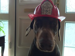 Paw Patrol To The Rescue - Doberman Pinscher Firefighter Zeus Ready For A Turn Out (firehouse.ie) Tags: boy dog brown male dogs tan canine zeus german doberman breed dobie pinscher k9 ref dobe dobermann dobies dobermans brownandtan dobes pinschers dobermanns reddoberman