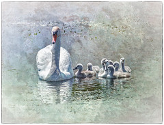 Morning Swim - HSS (leapinlily) Tags: texture swans hss sliderssunday