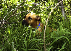 Shady Spot (EX22218 - ON/OFF) Tags: dogs pets animals green grass blue chien perro الكلب 狗 pes aso hund σκύλοσ kutya cane 犬 pies cão câine собака สุนัข chó mbwa weeds spring flickriver mostinteresting letsguide