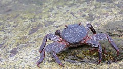 Pensive crab background (das_miller) Tags: desktop wallpaper background crab crustacean cabosanlucas sallylightfoot graspusgraspus