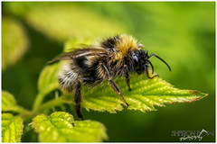 A Soaking Wet Bumblebee (Sharon Dow Photography) Tags: uk wild summer england hairy flower nature wet rain rural sussex countryside wings nikon feeding westsussex britain head wildlife ngc reserve insects bee bumblebee honey nectar pollen horsham naturalworld antennae damp thorax cowparsley flowerhead bombus busybee abdomen dryingoff soakingwet 2016 springwatch flyinginsects apidae bombini d7100 nikond7100 sharondowphotography june2016 warnhamnature