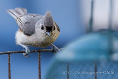 Ready to Pounce (kevnkc2) Tags: county bird franklin spring nikon pennsylvania contemporary sigma tuftedtitmouse lightroom chambersburg d610 stdntsdoncooper 150600mm 150600f563