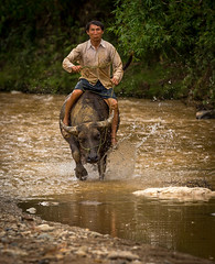 Wild ride home end of the day (furbs01 Thanks for 3,850,000 + views) Tags: water river vietnam vn ynbi buffollo