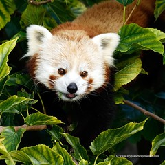 Red Panda (My Planet Experience) Tags: red wild portrait animal panda wildlife reserve conservation redpanda species endangered biodiversity ailurusfulgens lesserpanda ailuridae redcatbear redbearcat wwwmyplanetexperiencecom myplanetexperience