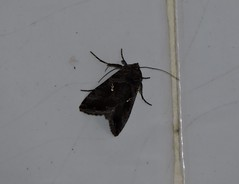 Liuzhou/ - Autographa sp. DSCN6514 (Petr Novk ()) Tags: china nature animal night insect asia wildlife moth  lepidoptera noctuidae plusiinae asie  guangxi liuzhou   hmyz    autographa  motl na