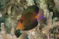 Rainbow (bodiver) Tags: macro hawaii vivid reef tang surgeonfish