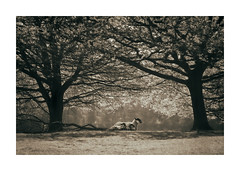 Protection (icypics) Tags: trees silhouette sepia spring sheep derbyshire peakdistrict backlit pastoral chatsworth subframe