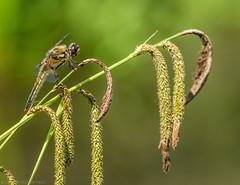 Yee-haw (katrin glaesmann) Tags: animal germany dragonfly hannover libelle botanicalgarden tier herrenhäusergärten berggarten gardensofherrenhausen groslibelle ithinkitsafourspottedchaser