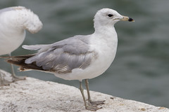 DUD_3774r (crobart) Tags: lake ontario bird birds port gull erie dover ringbilled